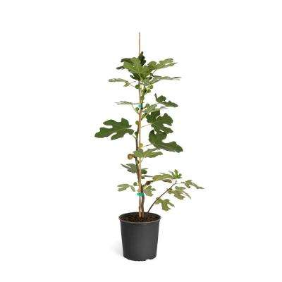 2 Gal. Chicago Hardy Fig Tree