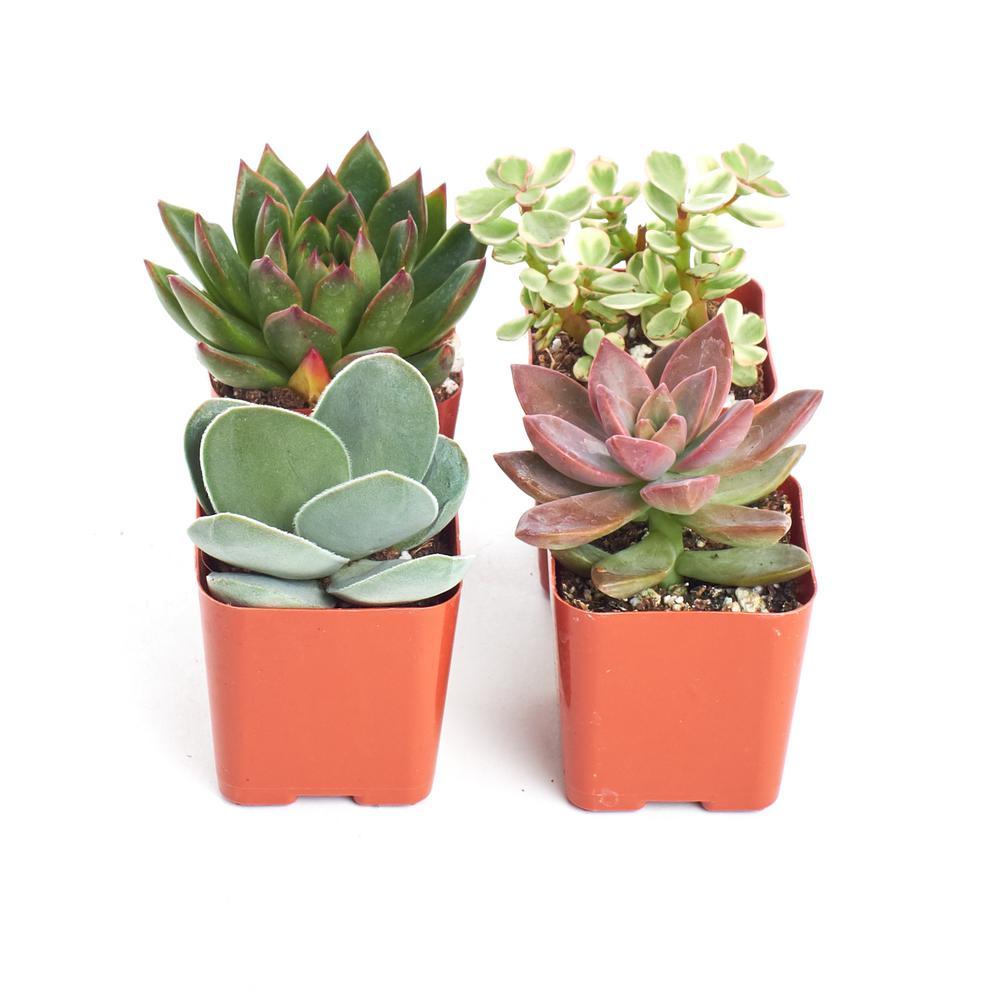 Unique Succulent Collection (4-Pack)