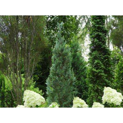 1 Gal. Pinpoint Blue False Cypress (Chamaecyparis) Live Evergreen Shrub with Blue Foliage