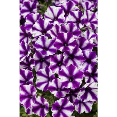 4-pack, 4.25 in. Grande Supertunia Violet Star Charm (Petunia) Live Plant, Purple and White Flowers