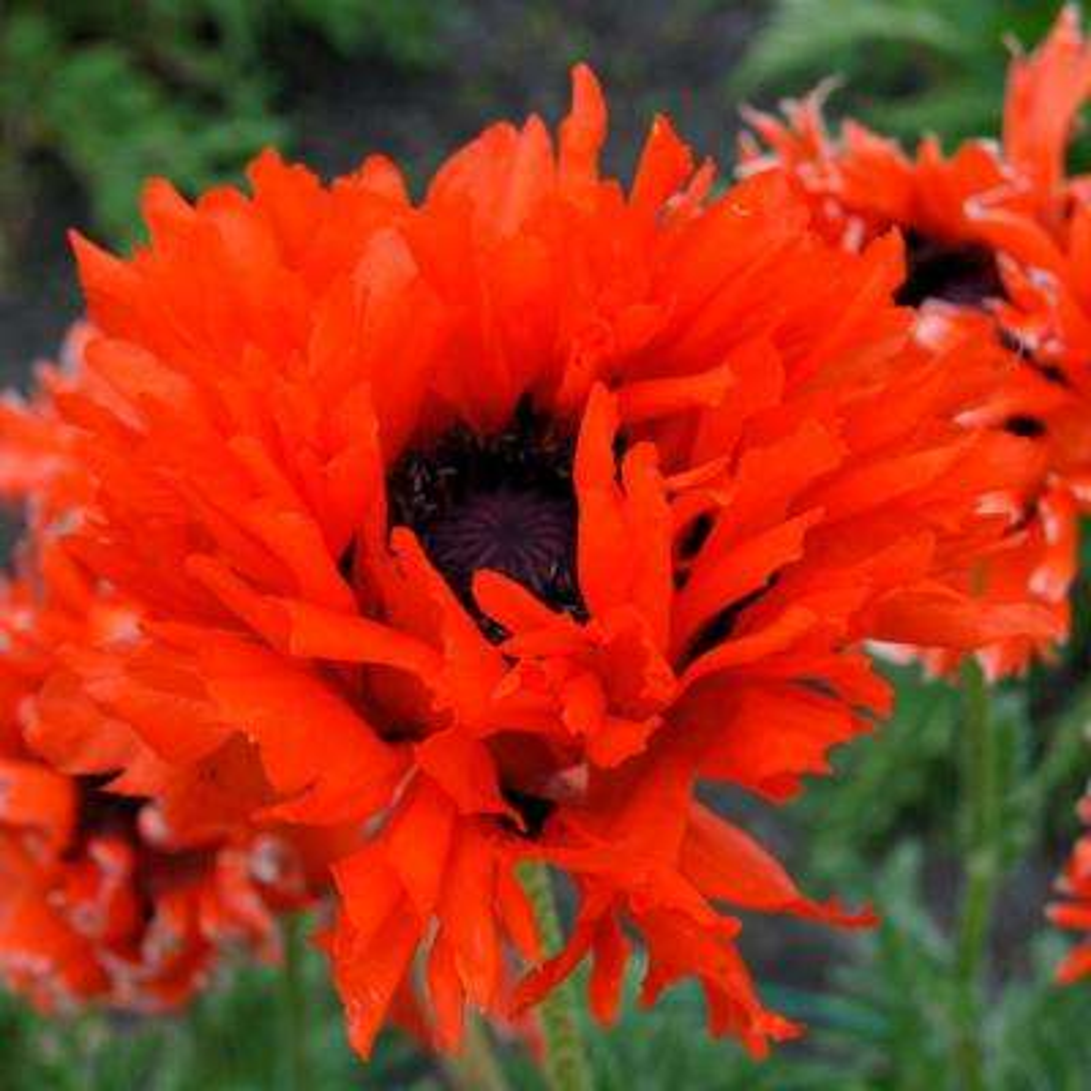 Ruffled Princess Orange Poppy Roots (3-Pack)