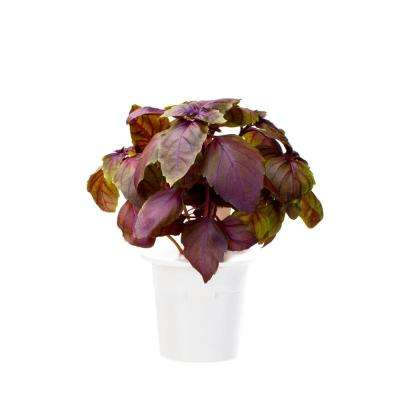 Red Basil Refill (3-Pack) for Smart Herb Garden