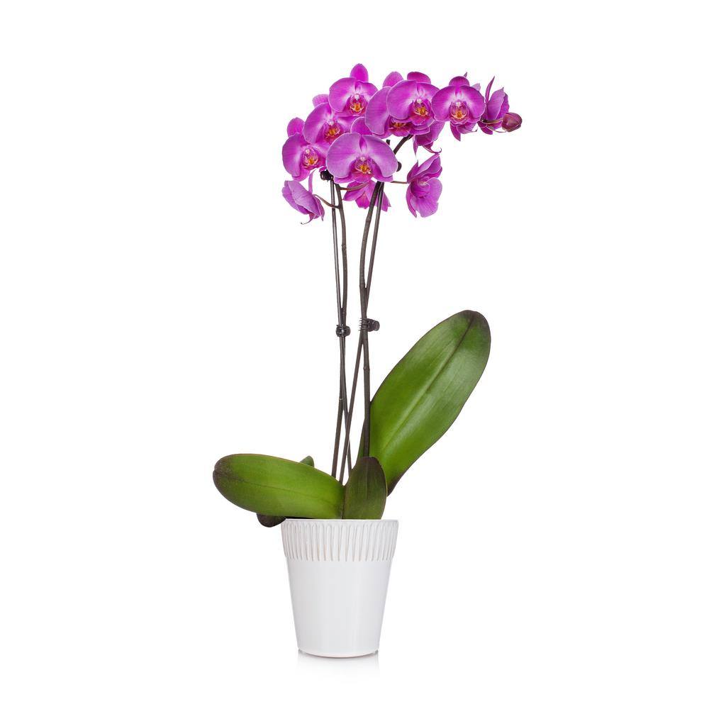 Purple 5 in. Radiant Orchid Plant in Ceramic Pot (2-Stems)