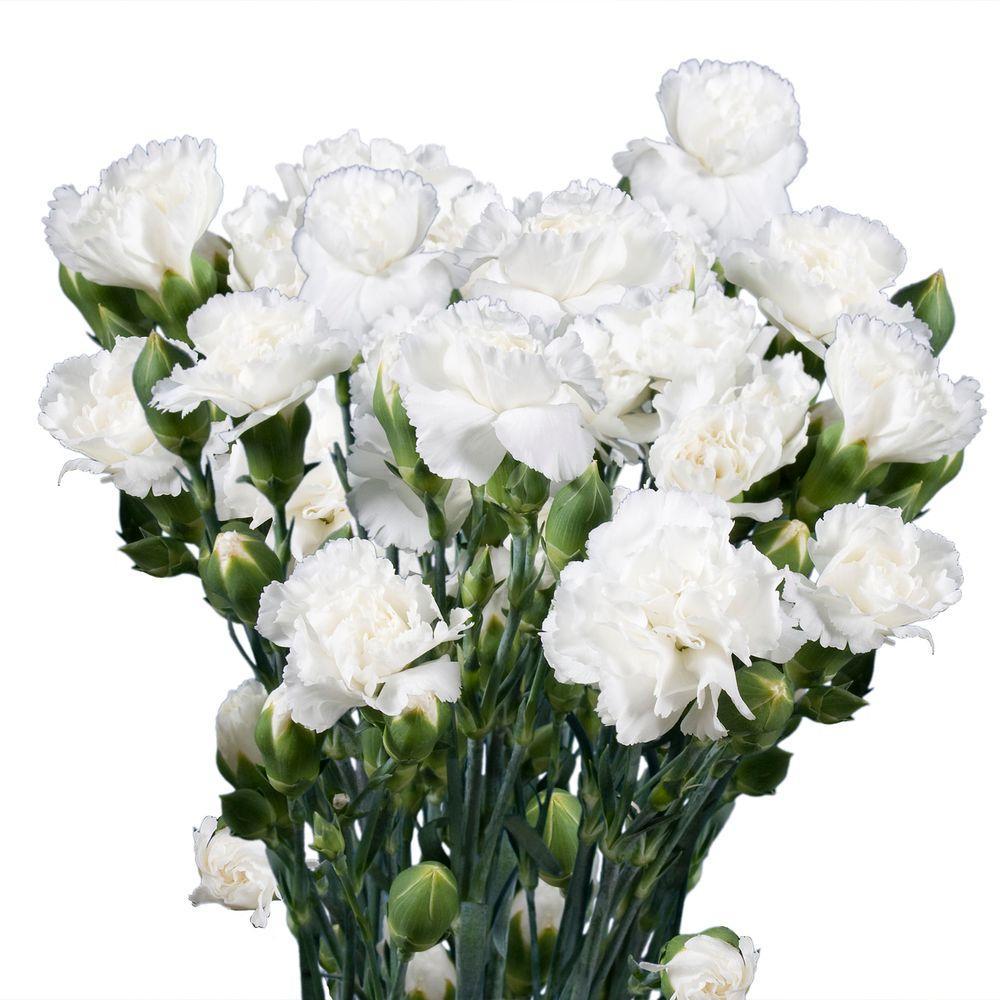 Fresh White Mini Carnations (160 Stems - 640 Blooms)