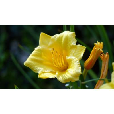 1 Gal. Stella D'oro Daylily Large Reblooming Bright Yellow Blossoms Thrive in Almost any Environment