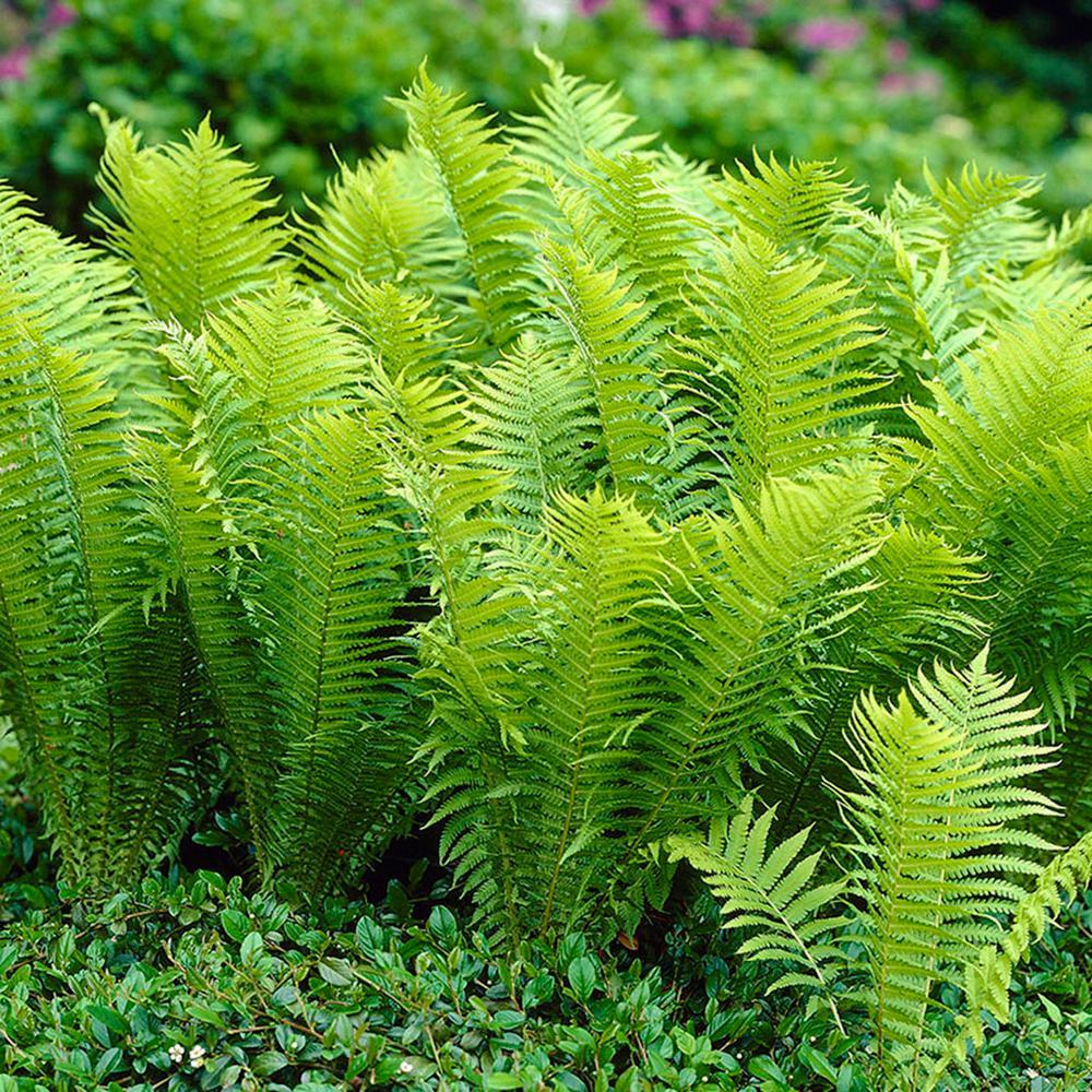 Van Zyverden Woodland Plant Tn Ostrich Fern Roots 3 Pack 11331