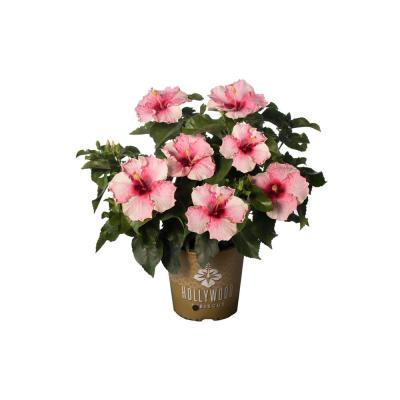 2 Gal. Hollywood Trophy Wife Pink Flower Annual Hibiscus Plant