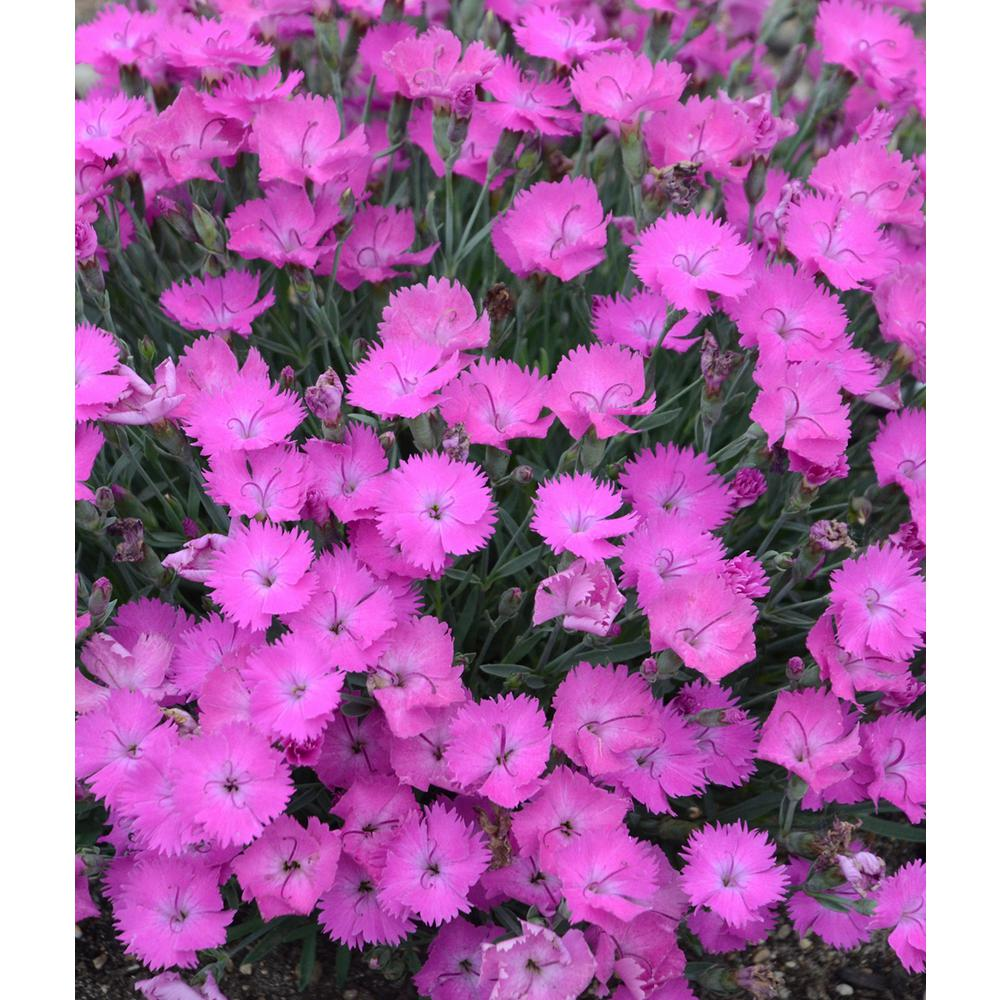 Proven winners paint the town fuschia pinks dianthus live plant proven winners paint the town fuschia pinks dianthus live plant pink flowers mightylinksfo