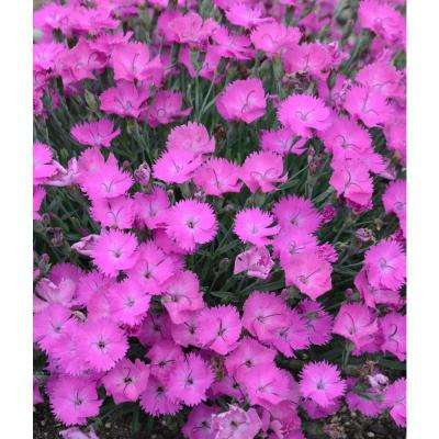 4.5 in. Qt. Paint The Town Fuschia Pinks (Dianthus) Live Plant, Pink Flowers