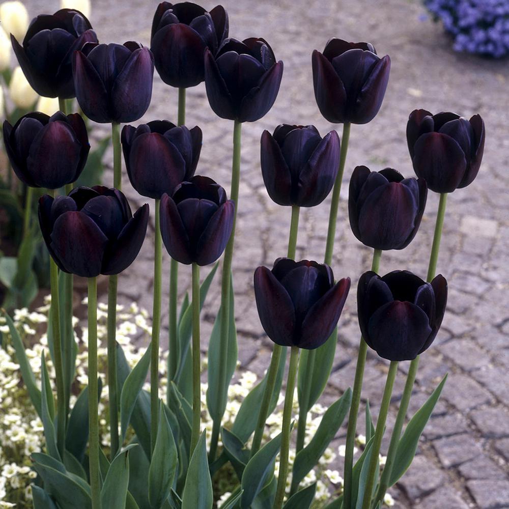 Black flower bulbs garden plants flowers the home depot tulips bulbs queen of night set of 12 izmirmasajfo