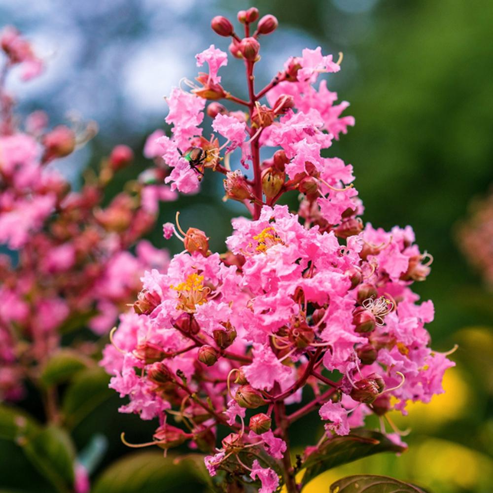 1 Gal. Coral Pink Sioux Crape Myrtle Tree