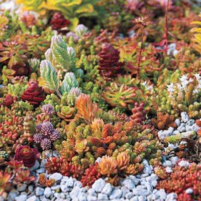 2 in. Pot Sedum Mixture Mixed Varieties of Ground Cover Live Perennial Plant (1-Pack)