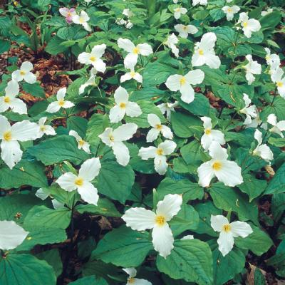 Great White Trillium White Flowers Live Bareroot Perennial Plant (5-Pack)