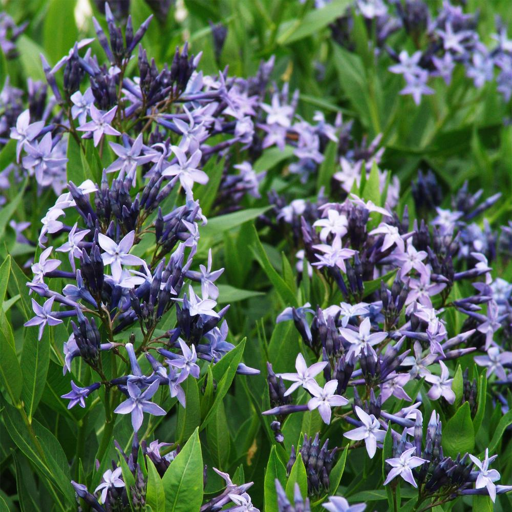 3 in. Pot Amsonia Blue Ice Live Perennial Plant Blue Flowers
