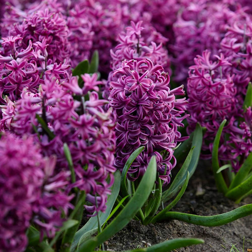 Purple Sensation Hyacinths Bulbs (Set of 10)
