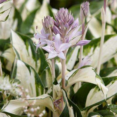 Lavender Hosta Fire and Ice Roots (3-Pack)