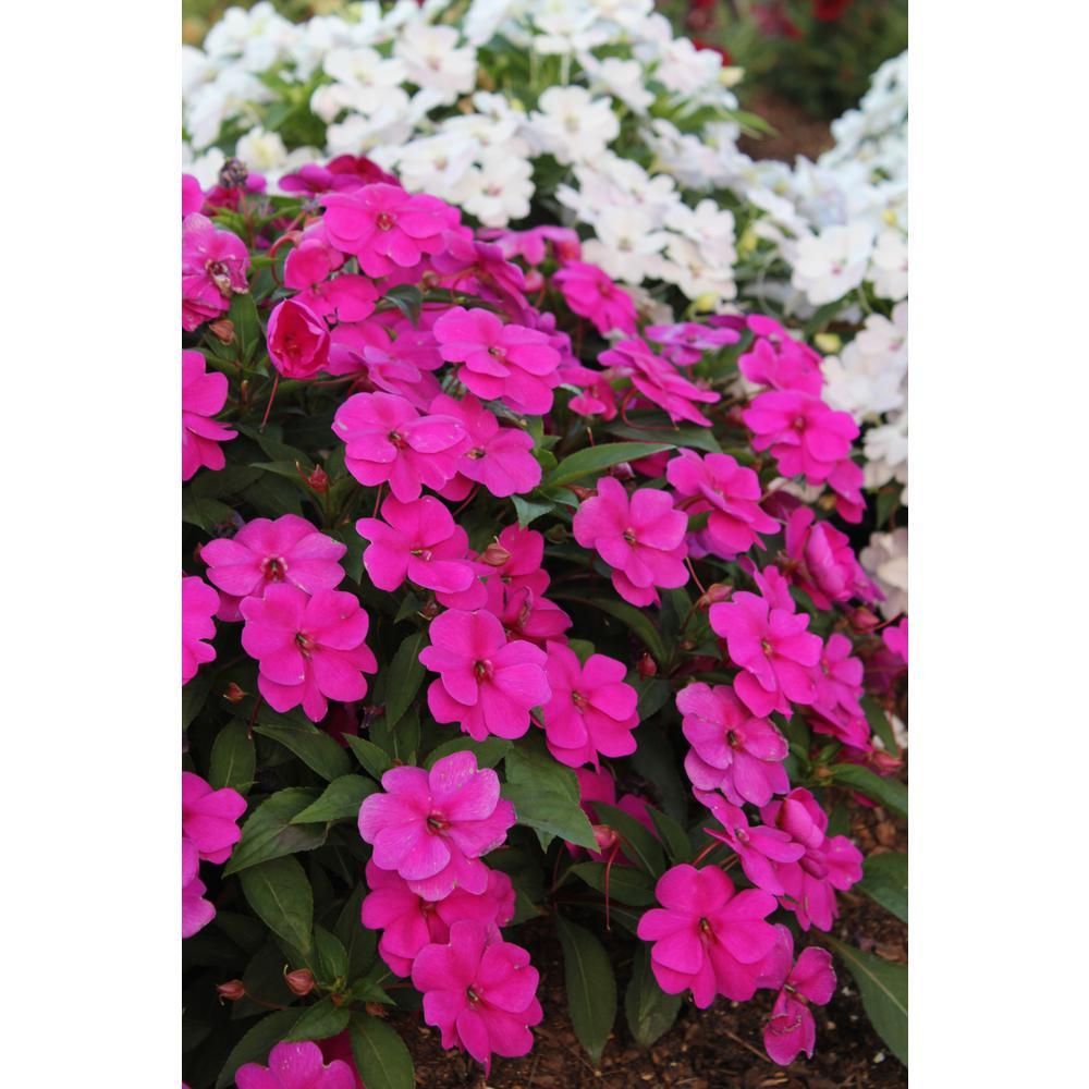 Costa Farms New Guinea Impatiens 1 Qt. Magenta SunPatiens Flowers Blooming (4-Pack)