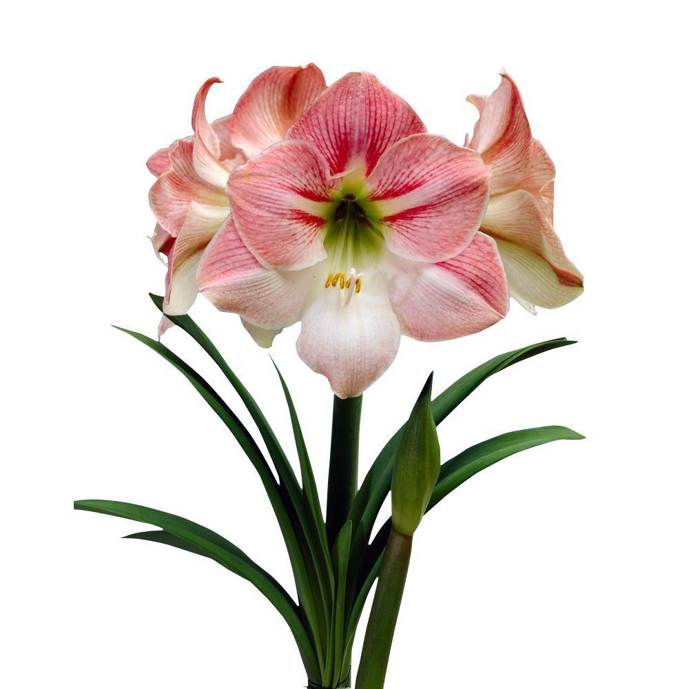 22 cm to 24 cm Economy Apple Blossom Amaryllis Bulb (12-Pack)