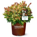 2 Gal. Kaleidoscope Abelia Plant with Chameleon-like Foliage that Blooms White Flowers