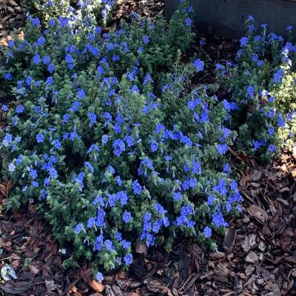 3 Gal. Blue Daze Evolvulus Plant