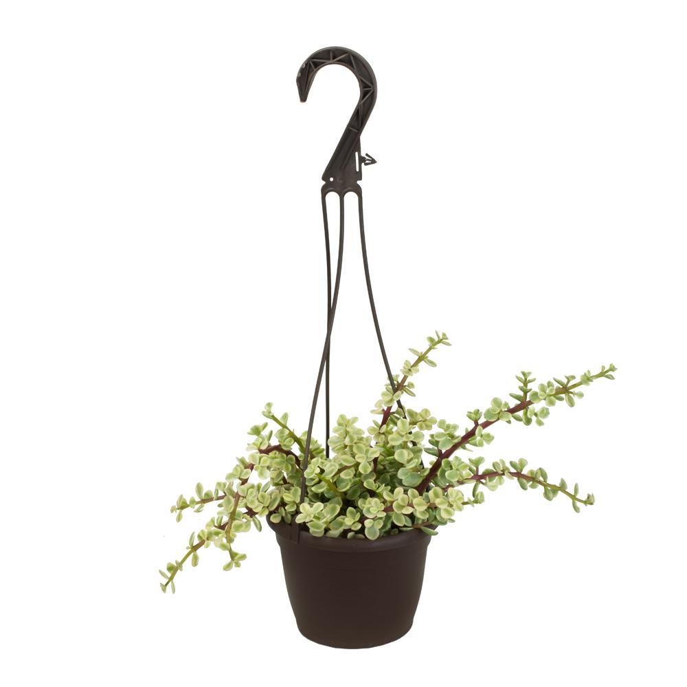 Altman Plants 3.5 in. Assorted Succulent Hanging Basket (3-Pack ...