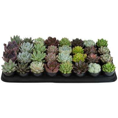2.5 in. Echeveria Collection Plant (32-Pack)