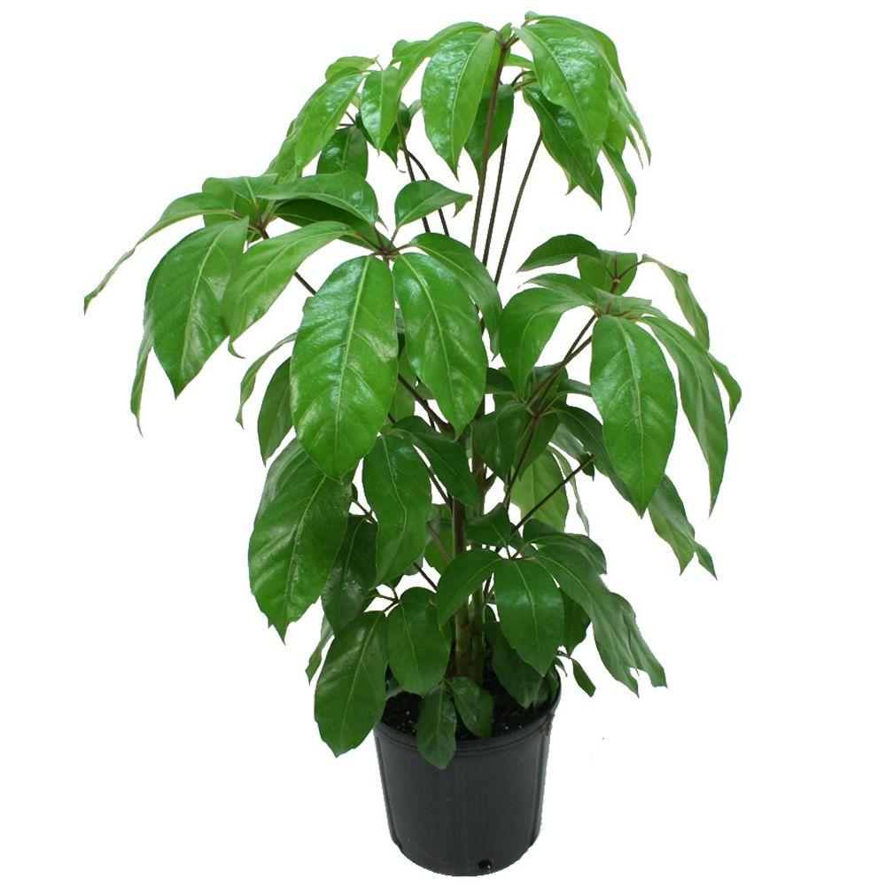 delray plants schefflera amate in 8 3 4 in pot 10scheff the home depot. Black Bedroom Furniture Sets. Home Design Ideas