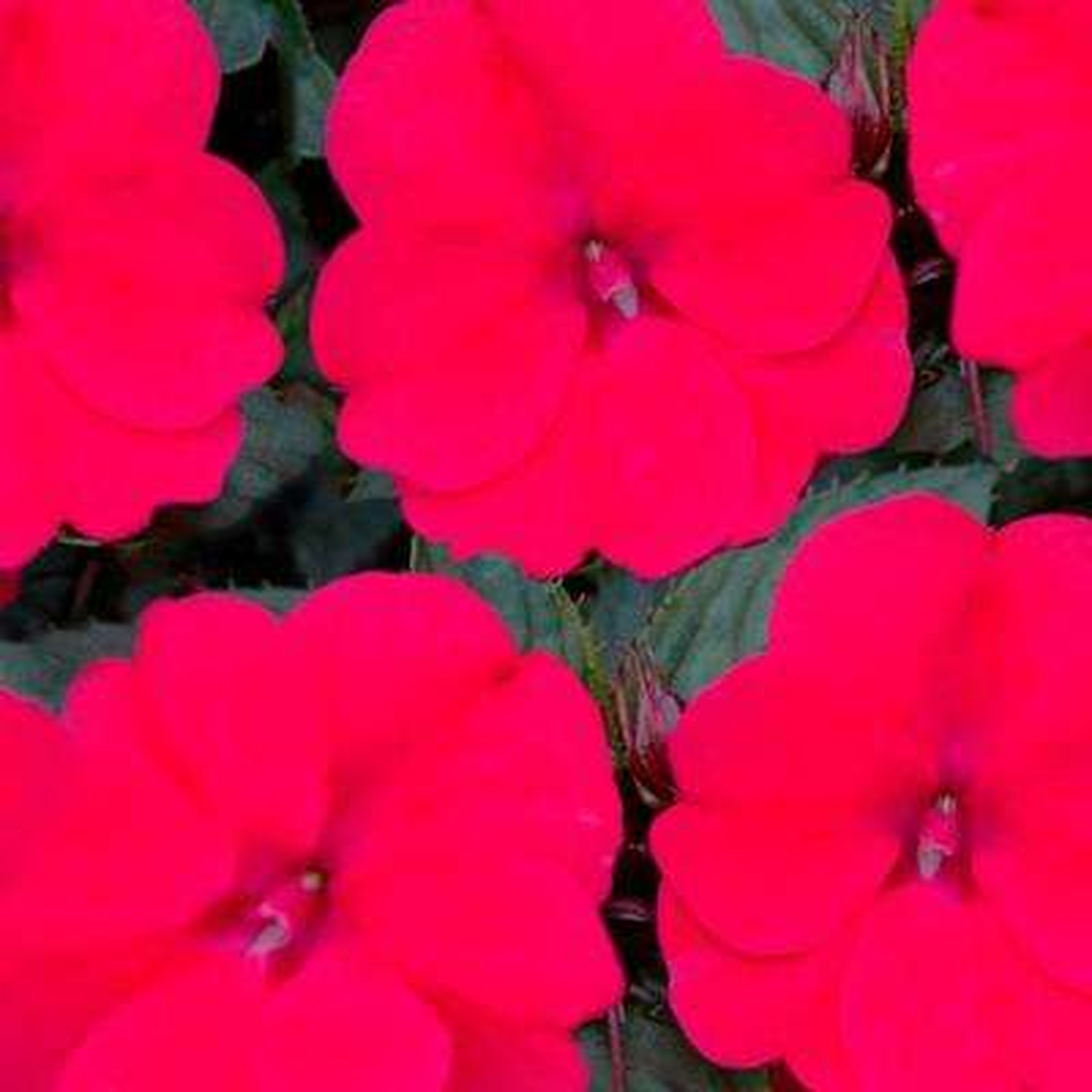 SunPatiens Compact Deep Rose (Impatiens) Live Plant,Dark PinkFlowers, 4.25 in. Grande