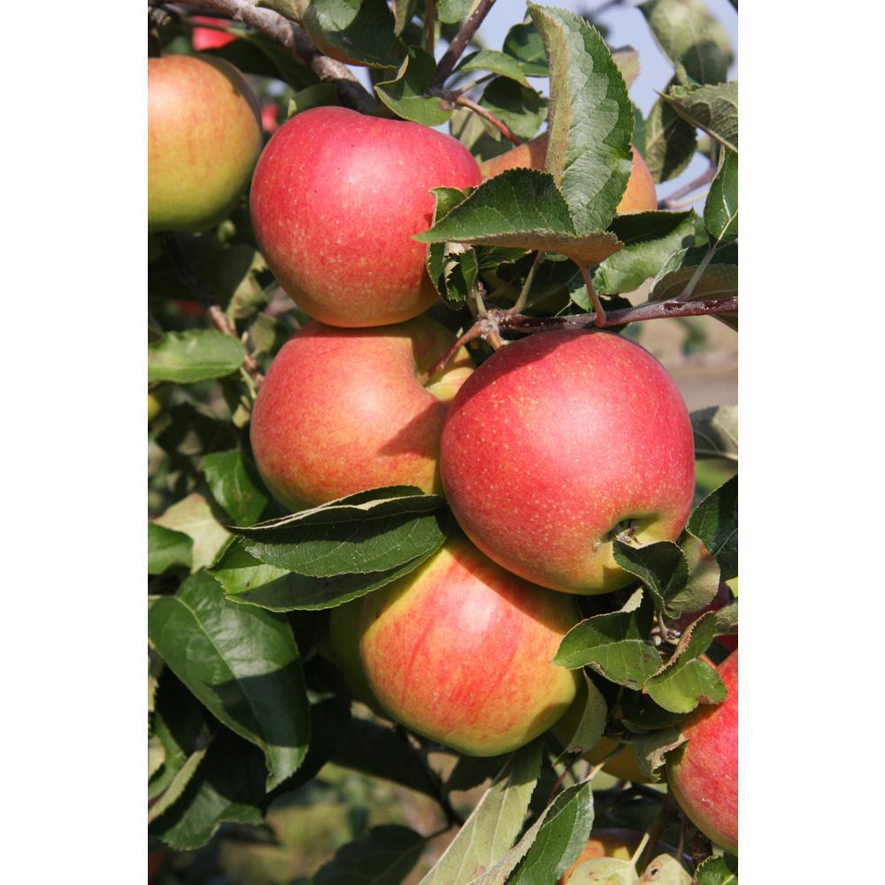 Jonagold Apple Tree Bare Root