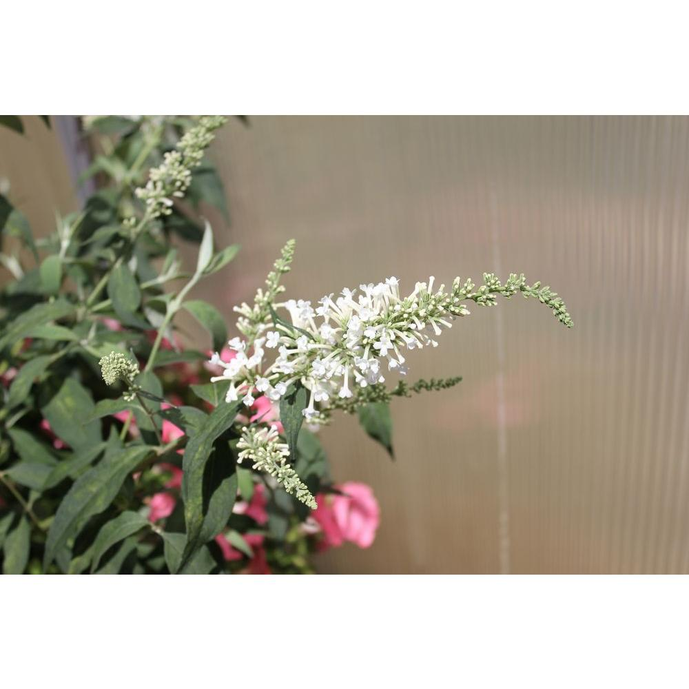 Proven Winners InSpired White Butterfly Bush (Buddleia) Live Shrub, White Flowers, 4.5 in. qt.