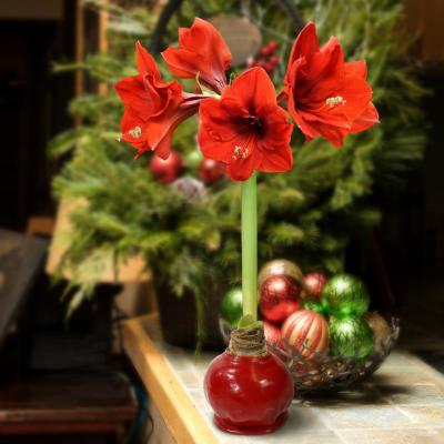 BlooMaker Classic Collection Waxed Red Blooming Giant Amaryllis Bulbs (3-Pack)