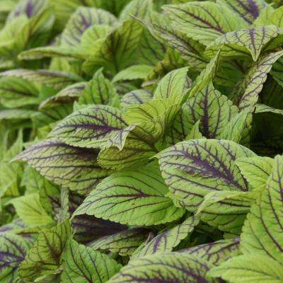 Gays Delight Coleus (Solenostemon) Live Plant, Green Foliage with Purple Veins, 4.25 in. Grande
