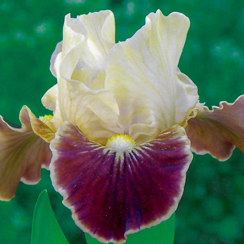 Brecks Coconino Dwarf Bearded Iris Cream And Purple Flower Colors