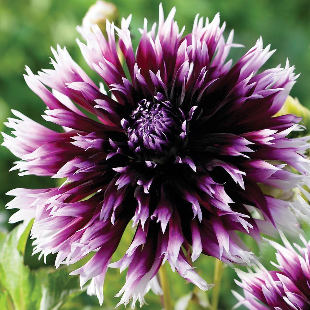 #1 Alauna Clair-Obscur Dahlia Bulbs (3-Pack)
