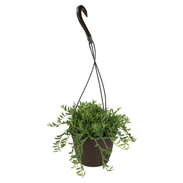 6 in. Assorted Bananas Senecio Radican Hanging Basket Plant