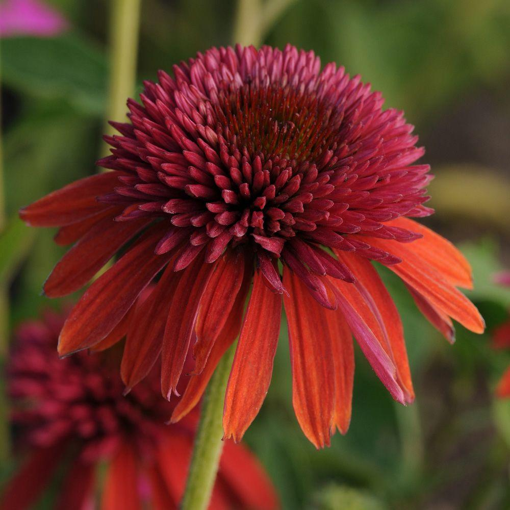 Perennials at the home depot 25 qt double scoop orangeberry echinacea with orange red blooms live mightylinksfo