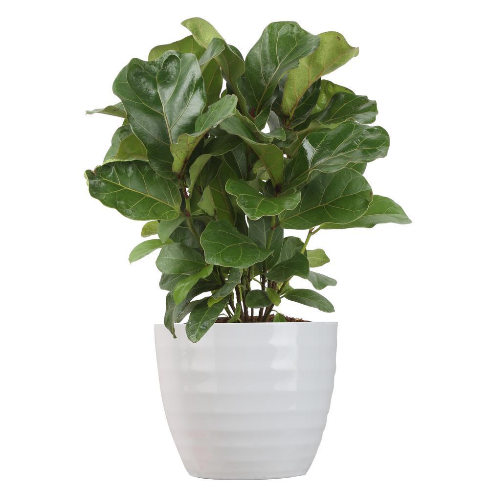 Costa Farms Trending Tropicals Little Fiddle Leaf Ficus Lyrata Plant Deals