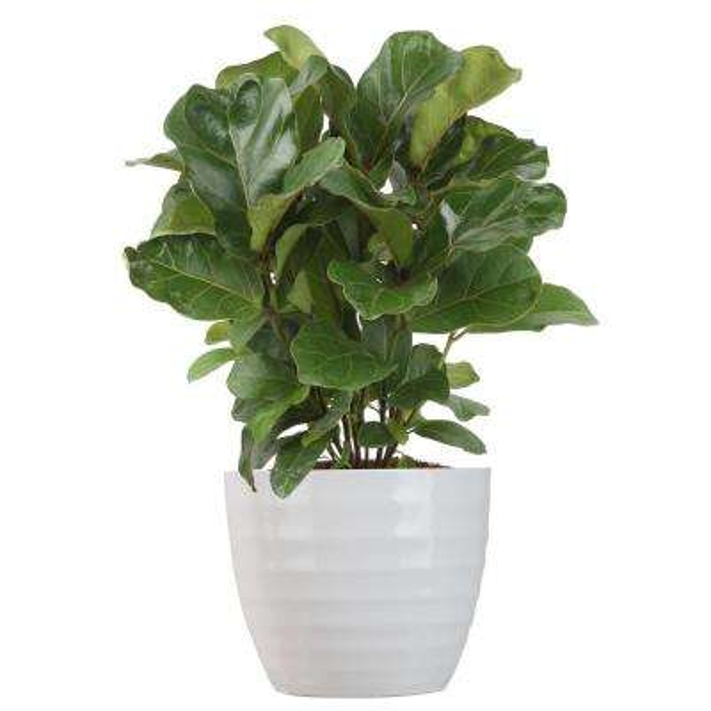 Trending Tropicals Little Fiddle Leaf Ficus Lyrata Plant in 6 in. Ceramic