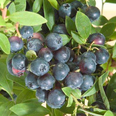 1  Gal. Northsky Blueberry (Vaccinium), Live Fruiting Plant, White Flowers with Green Foliage (1-Pack)