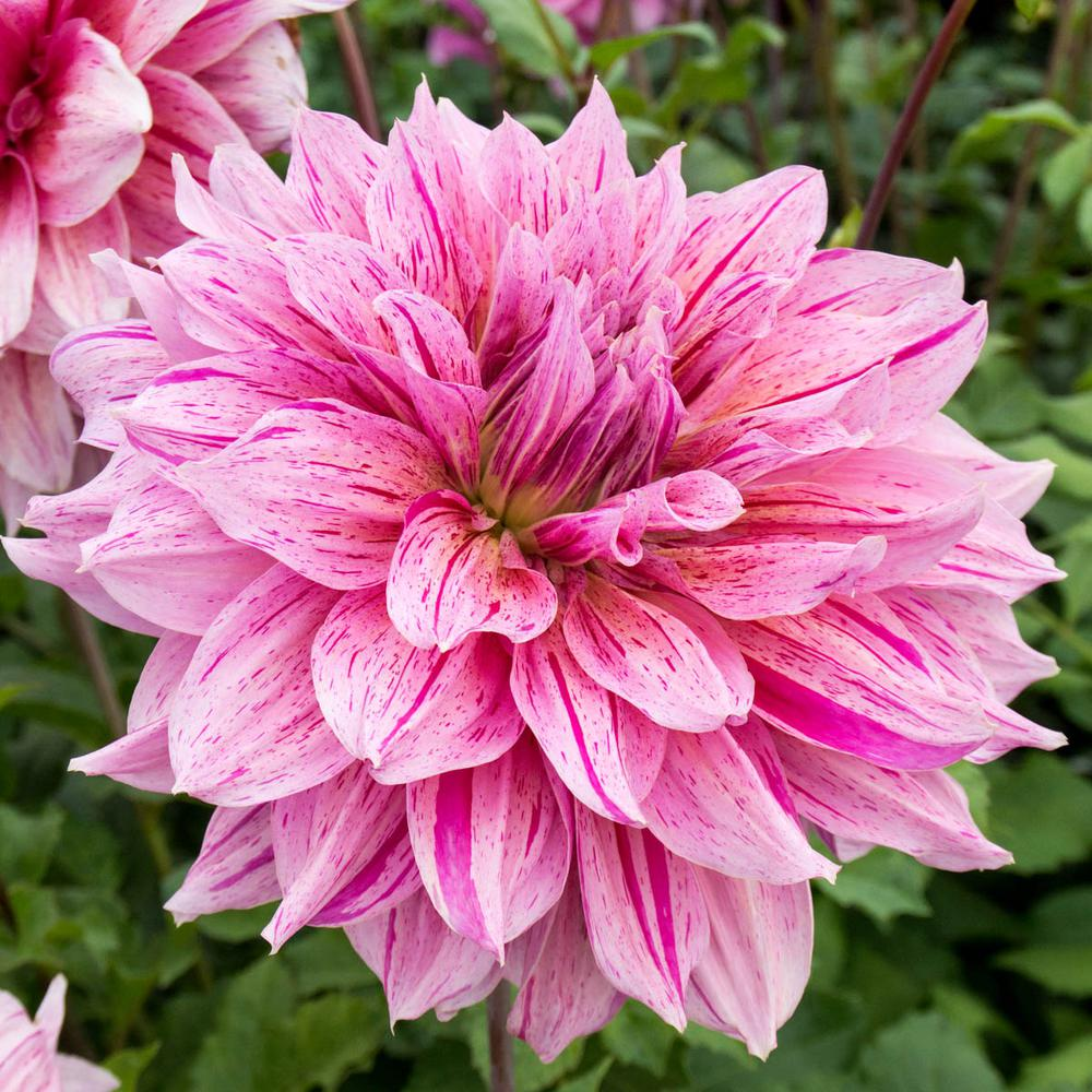 Breck S Maki Dahlia Bulbs Pink Colored Flowers 3 Pack 63404