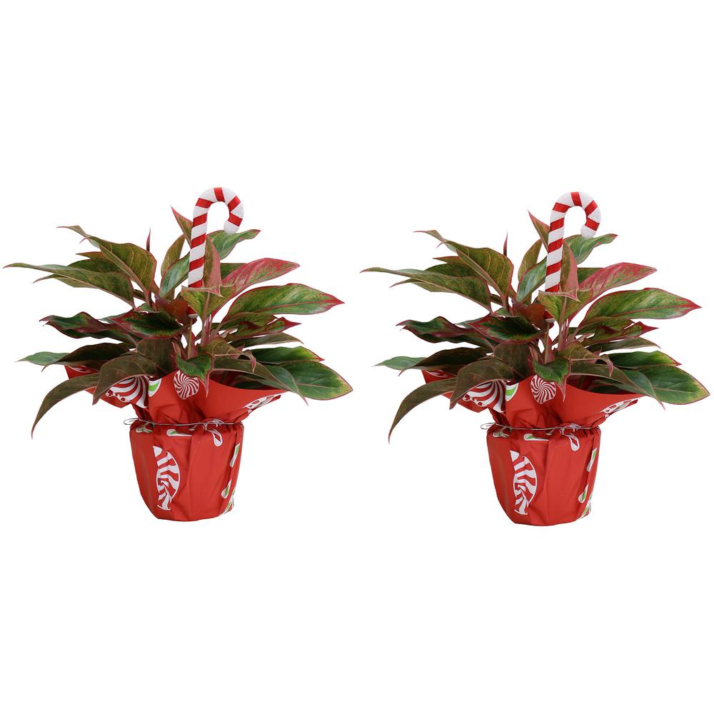 Costa Farms Fresh Holiday Siam Aglaonema in 6 in. Grower Pot with Christmas Wrap and Pick (2-Pack)