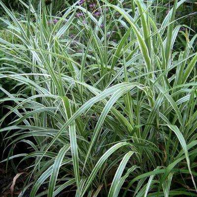 9.25 in. Pot - Cosmopolitan Maiden (Miscanthus) Grass, Live Plant