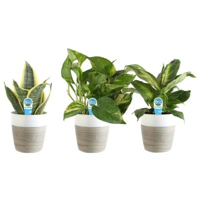 O2 for You House Plant Collection in 4 in. Decor Pot (3-Pack)
