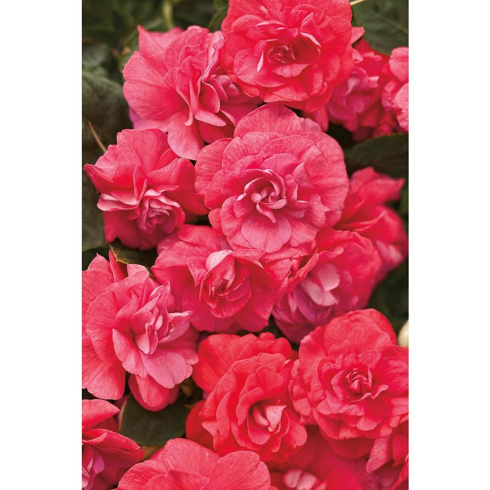 Impatien annuals garden plants flowers the home depot rockapulco mightylinksfo Choice Image