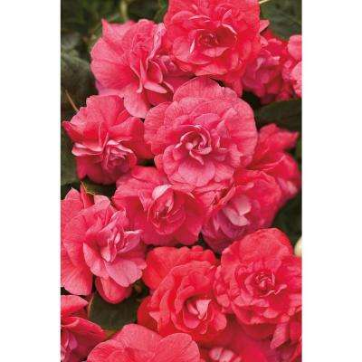 Rockapulco Coral Reef (Double Impatiens) Live Plant, Coral-Pink Flowers, 4.25 in. Grande, 4-pack