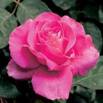 All Time Favorites Rose Pink Peace