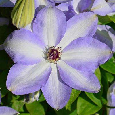 4 in. Pot Ivan Olsson Clematis Vine with White and Blue Flowers Live Perennial Plant (1-Pack)