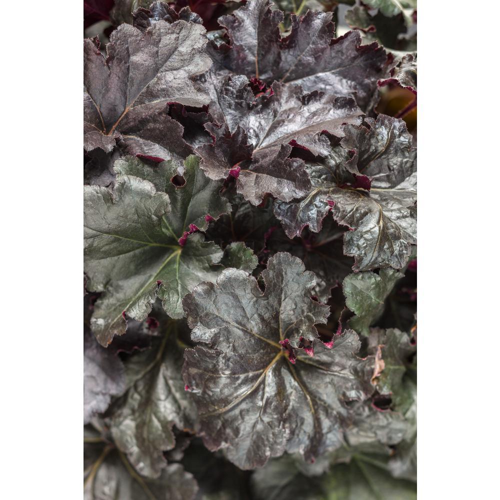 Primo Black Pearl Coral Bells (Heuchera) Live Plant, Black Foliage, 0.65 Gal.