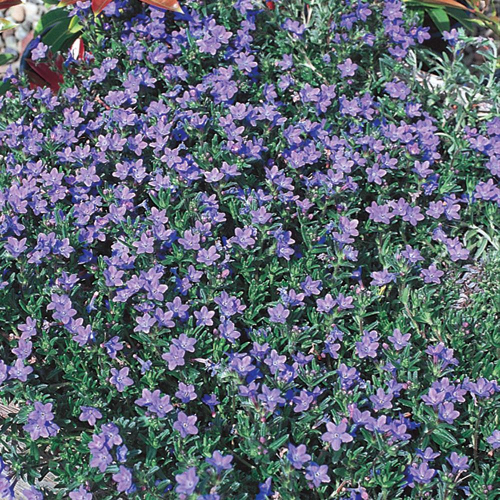 2.5 Qt. Grace Ward Blue and Purple Lithodora Plant