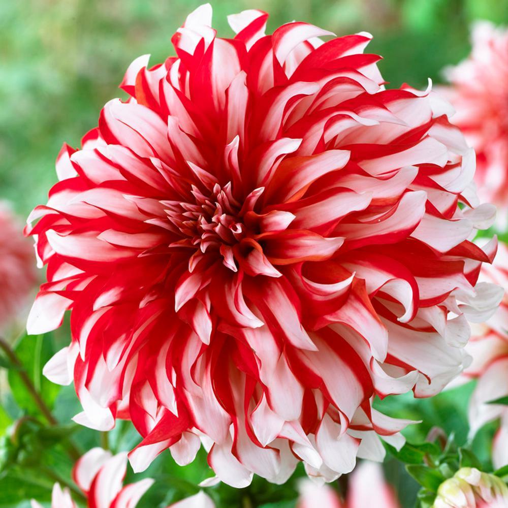 Red and White Dahlia Santa Claus Bulbs (5-Pack)